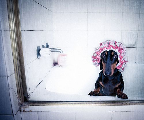 shower doxieShower Doxie, The Doors, Dexter, Take A Bath, Dachshund, Shower Cap, Shower Time, Hot Dogs, Bath Time