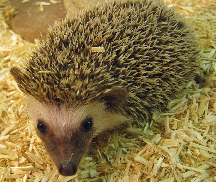 Best Opossum And Tenrec Images On Pinterest Animal Pics - This instagram account will satisfy your addiction for adorable hedgehogs