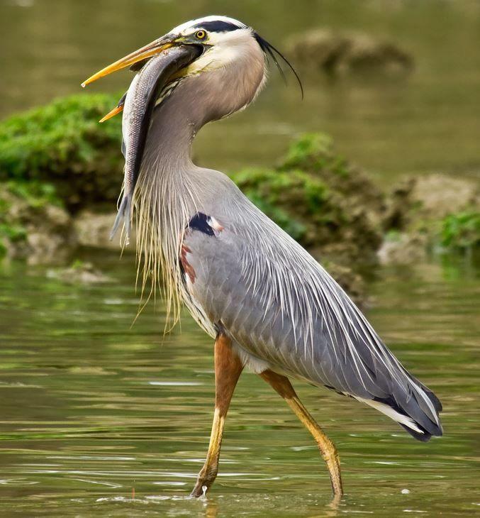 47 best birds heron images on pinterest herons grey heron and birds. Black Bedroom Furniture Sets. Home Design Ideas
