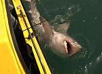 El impresionante vídeo en el que un tiburón de 200 kilos es capturado por dos pescadores en Gran Bretaña