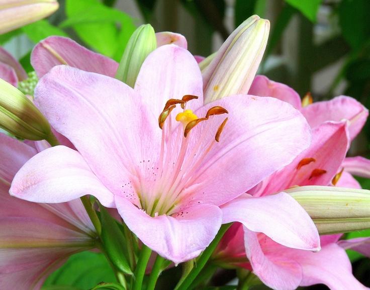 Algarve Lily in my Finnish garden, July 2011