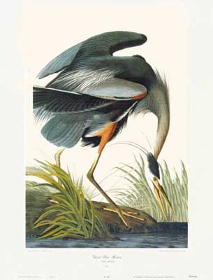 A vintage Image of Great Blue Heron, by James Audubon, completes the form and style of the bluest rooms. Quality lithograph art print. #birdprint #birdart #audubon