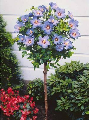 Hibiscus de jardin sur tige bleu