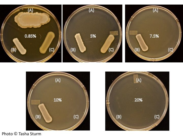 A) Bacillus subtilis, (B) Staphlococcus aureus and (C) Escherichia coli were grown on BHI media with varying concentrations of NaCl (0.85%, 5%, 7.5%, 10%, and 20%) at 37 degrees C for 24 hrs.