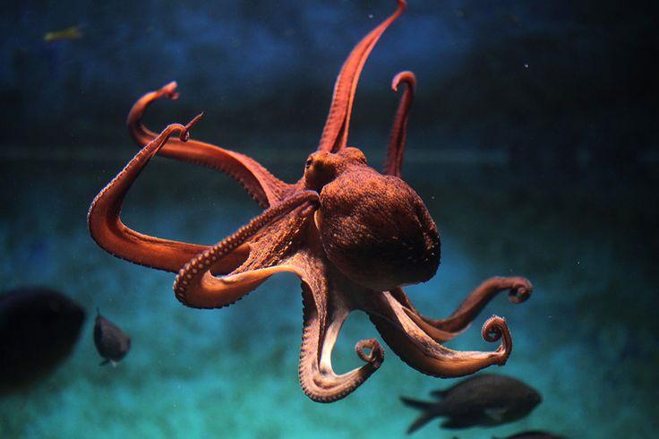 La taille de l'animal peut atteindre un diamètre de 2 mètres. La longueur record de ses tentacules a atteint 9 mètres et son poids, 272 kilos.Se nourrissant exclusivement la nuit, la pieuvre attrape sa proie et lui injecte un poison mortel. Les principales cibles sont essentiellement les crabes, les mollusques, les crustacés, les poissons et même les oiseaux de mer. Celle-ci recrache par la suite la carcasse.