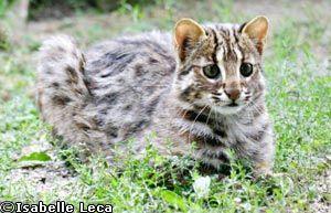 Chat leopard du Bengale