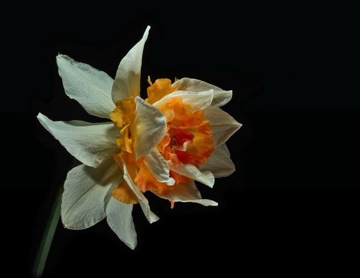 daffodil replete - thanks