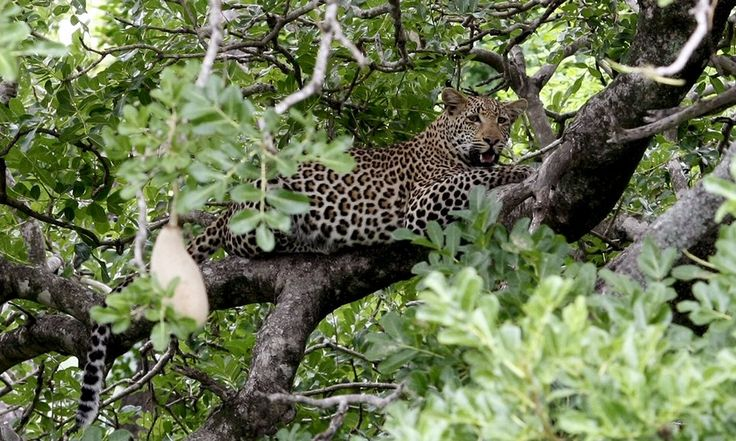 South Africa bans leopard hunts due to uncertainty on numbers by Supertrooper http://focusingonwildlife.com/news/south-africa-bans-leopard-hunts-due-to-uncertainty-on-numbers/