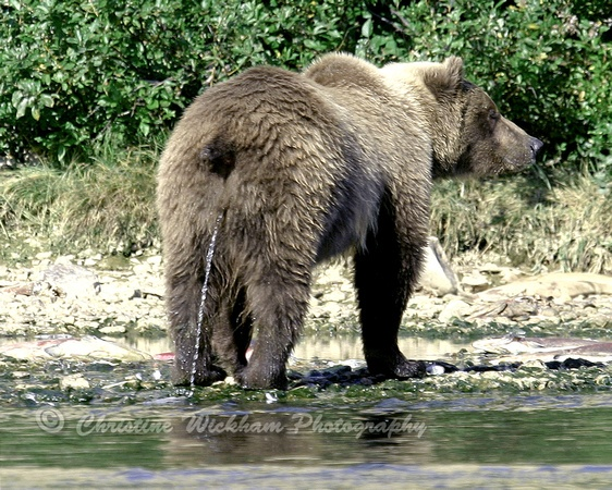 A bear peeing... | Things that are peeing... | Pinterest ...