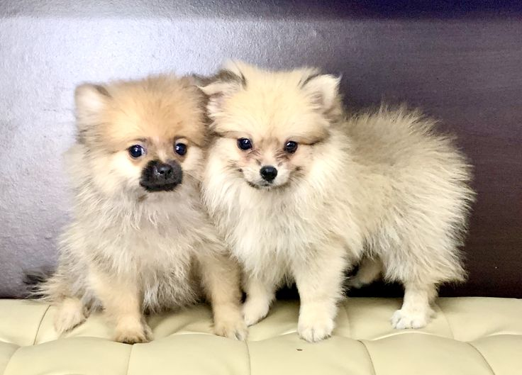 American pomeranian puppies for sale pomeranian puppy