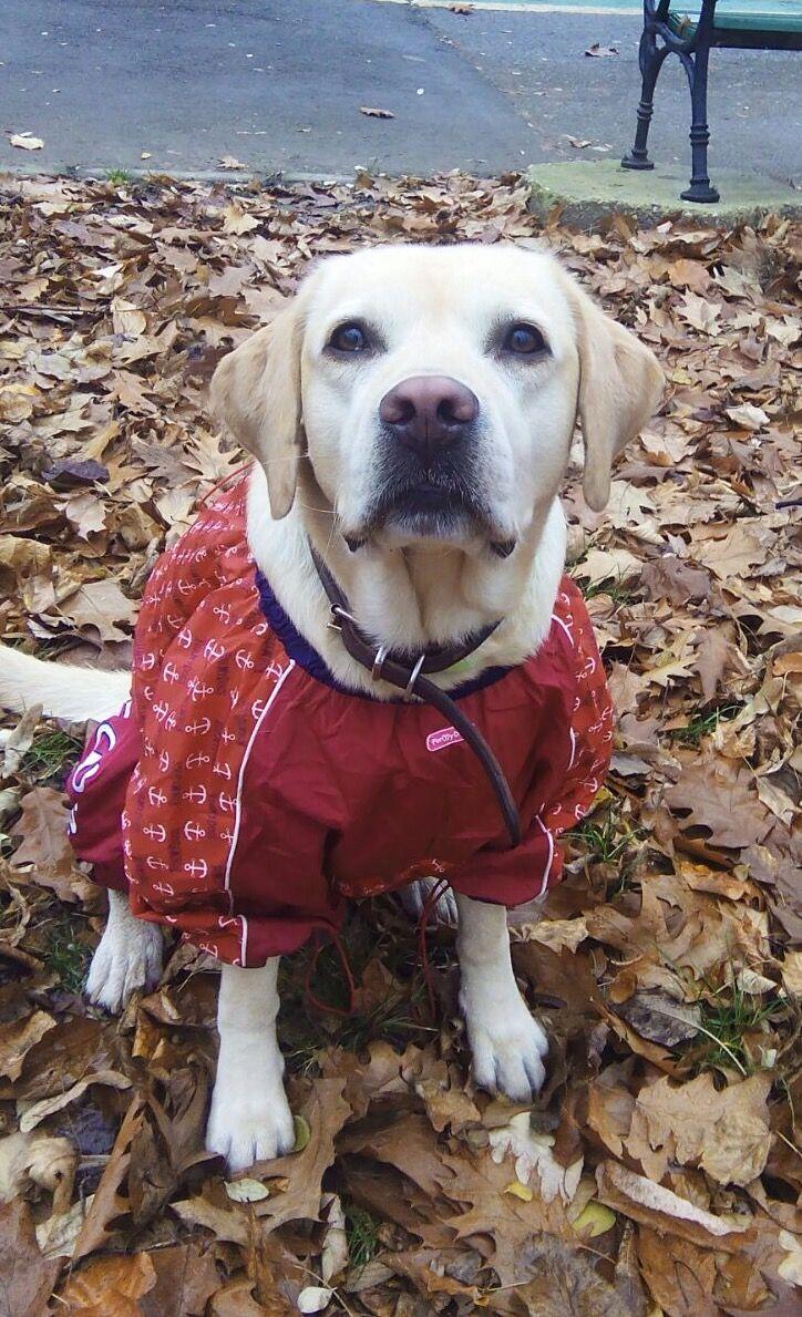Nora, frumoasa si dragalasa in Salopeta de Ploaie de la King Maru --> https://kingmaru.ro/  #hainecaini #accesoriicaini #imbracamintecaini #caine #caini #catel #catei #dog #dogs #kingmaru
