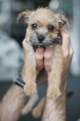 tiny border terrier puppy.