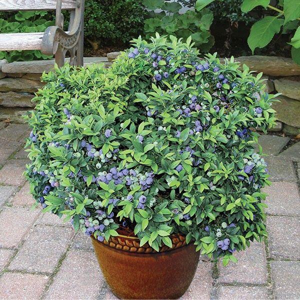 Awesome Blueberry U0027Top Hatu0027 (Vaccinium Angustifolium): Hardiness Zone 3, 4,