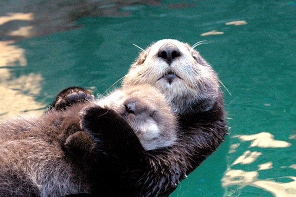 Snuggling Otters :) | ...