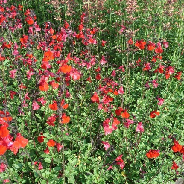 Salvia+microphylla+Royal+Bumble+-+Sauge+arbustive+rouge