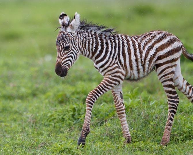 Cute baby zebra anamils pinterest babies