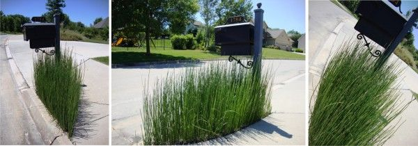 Ever since I was a child I've been fascinated with snake grass (also called horsetail, or Equisetum hymale) thanks to my babysitter who showed me how to disassemble each section and carefully snap them back together{also…the blades worked really well to whip at my little brother}. But there is something more you should know about [...]