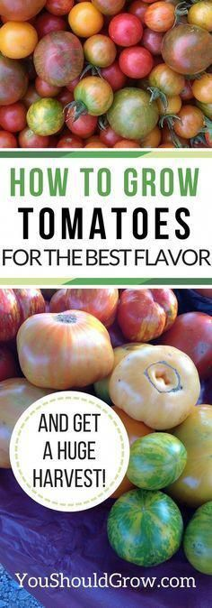 How to grow tomatoes for the best flavor and a huge harvest. #organicgardenhowto