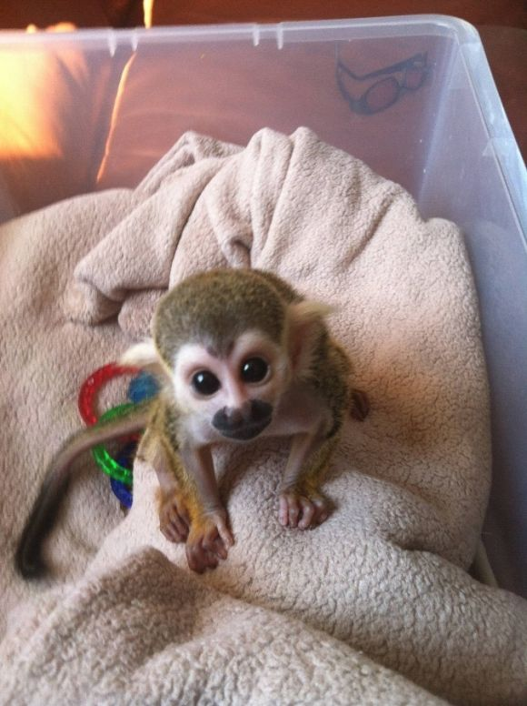 This is Bobo The Baby Spider Monkey. My family had a spider monkey when we were growing up.