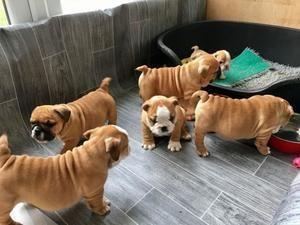 Regalo cachorros bulldog ingles de 12 semanas de edad