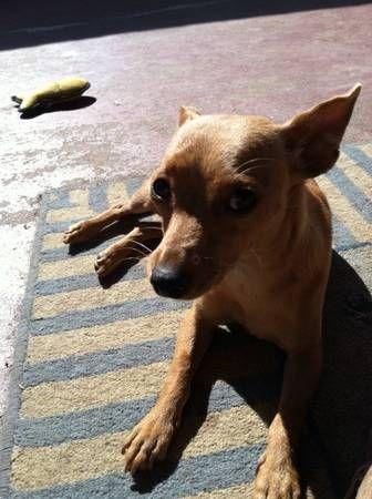 Lost small chihuahua dog (Arcadia) image 1image 2