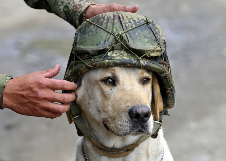 Timothy, an army explosive sniffer dog, wears the helmet of a soldier who placed it on his head at the site of a car loaded with explosives that was detonated by an army anti-bomb squad in Pradera, southwestern Colombia, Friday, Feb. 3, 2012.Fashion Statement, Heroes, Soldiers Dogs, Veterans Day, Service K9, Service Dogs, American Service, Military, Animal