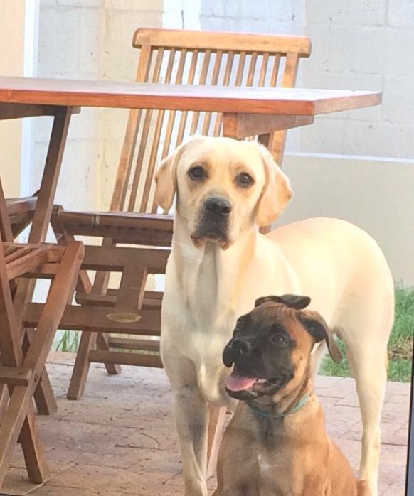 Ben, the Lab and Angie, the Bullmastiff - best neighbours