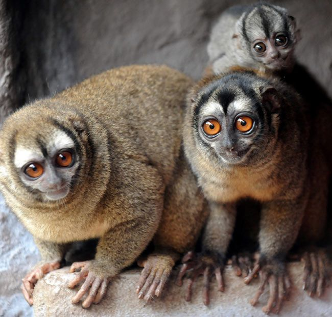 Owl Monkeys are Among the Best Fathers and Faithful Mates