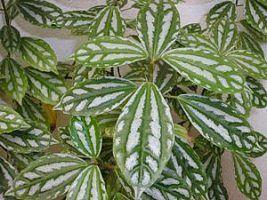 O alumínio é uma planta de textura herbácea, muito apreciada pela sua folhagem decorativa. Seus ramos são eretos, tenros e suculentos, com cerca de 25 cm de altura. As folhas são opostas, ova...