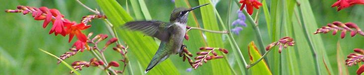 16 Tips for Hummingbird Feeders + Nectar recipe (cane sugar and water, NO RED FOOD COLOR) ...  From the Hummingbird Society!