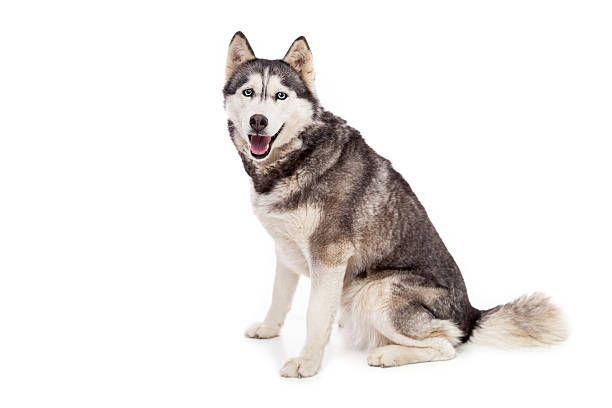 Best Dog Food For Siberian Huskies Best Dog Food Best Dogs Husky