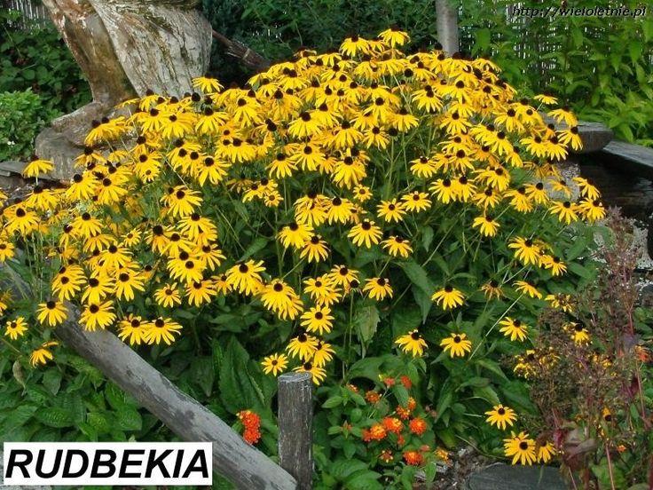 Rudbekia (Rudbeckia fulgida) - wieloletnie.pl