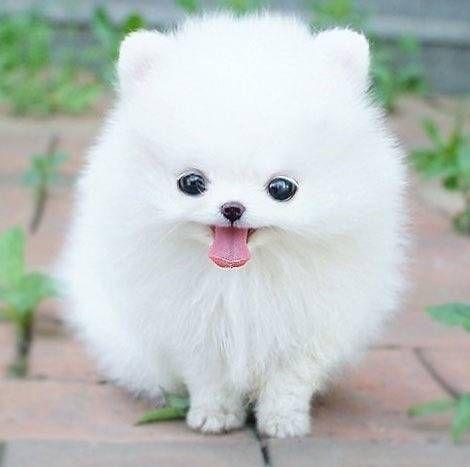 White puppy #4,
