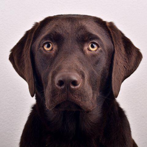 Onze Dorus 9 maanden / bruine labrador / Brown lab