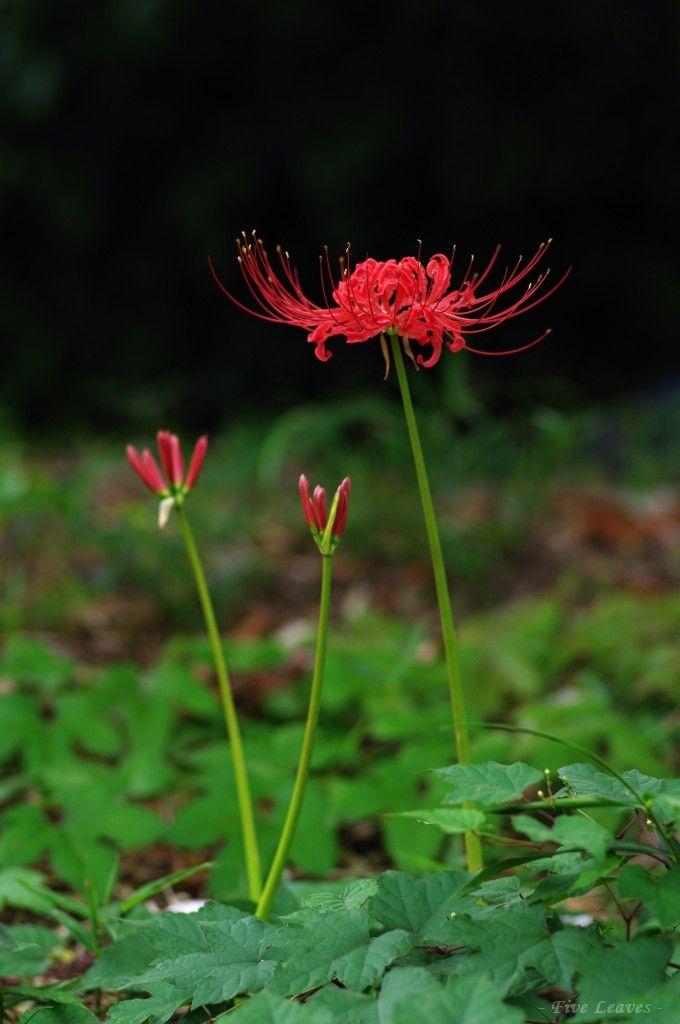 彼岸花/曼珠沙華 Red spider lily (Lycoris radiata)