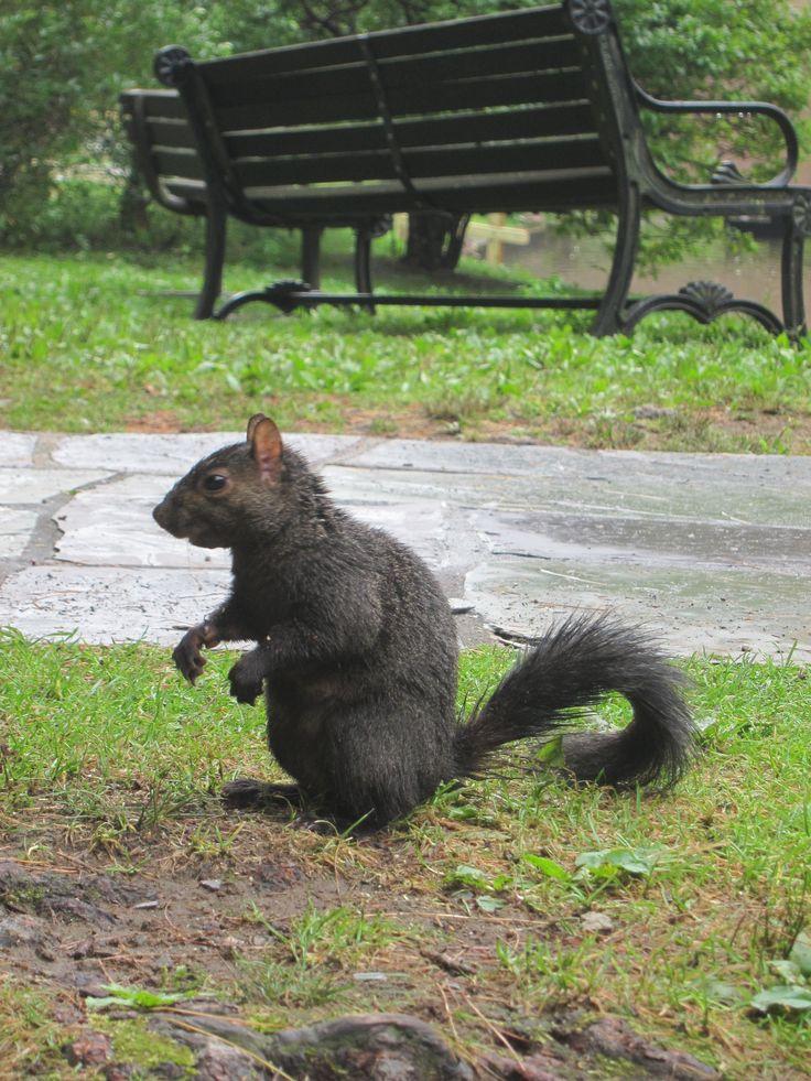 10 besten Black Squirrel Bilder auf Pinterest   Eichhörnchen, Amy ...