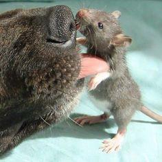 Osiris, der Therapiehund, und sein bester Freund, die Riff-Ratte, sind die süßeste Sache, die es gibt, Instagram zu treffen