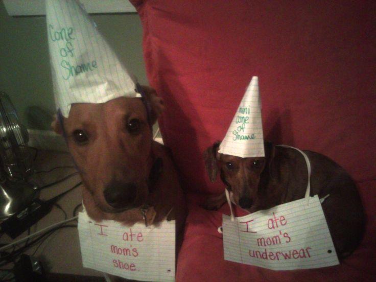Love the cones of shame.: Dog Shame, Dog Shaming, Dachshund, Funny, Animal Shaming, Mom S Shoe, Pet Shaming
