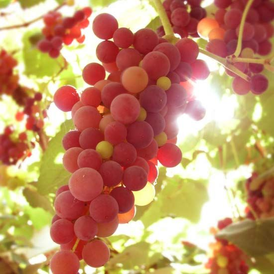 117 Best Growing Grapes Images On Pinterest Grape Vines