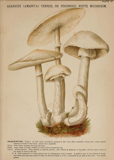 Agaricus (Amanita) vernus or poisonous white mushroom by BioDivLibrary on Flickr. Mushrooms of America,.Boston,L. Prang & Co.[1885].biodiversitylibrary.org/page/1274925