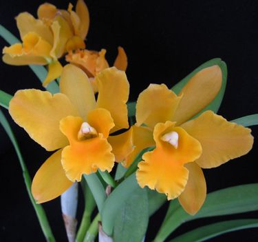 golden cattaleyacafleurebon olympic orchids