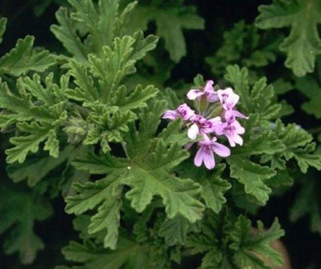 Greek gardens...Pelargonium graveolens! - Αρμπαρόριζα στους κήπους της Ελλάδας!