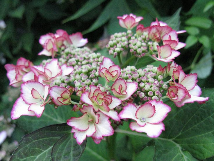 25 best ideas about hydrangea macrophylla on pinterest. Black Bedroom Furniture Sets. Home Design Ideas