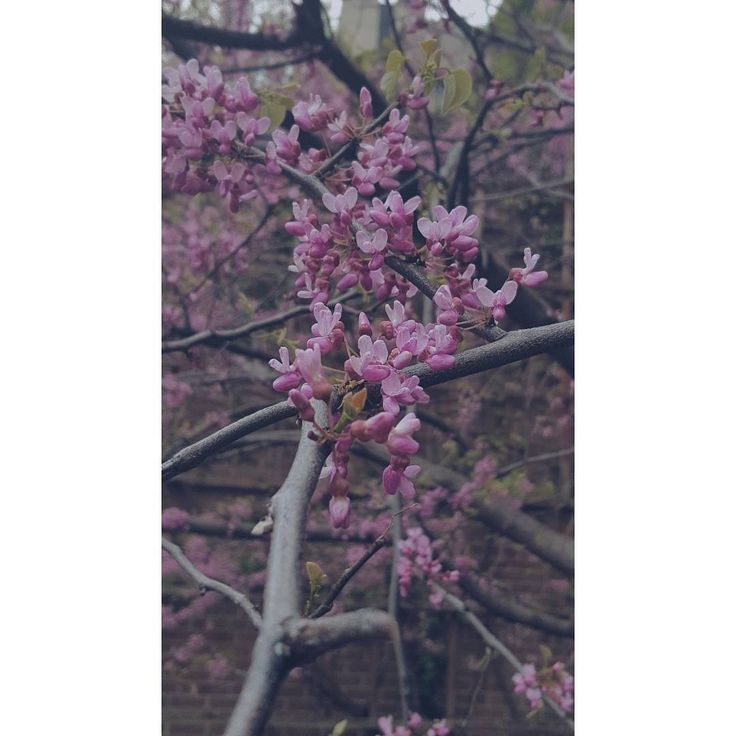"28 Likes, 2 Comments - I Rosanna (@bri_wande) on Instagram: ""Meet Eastern Redbud,  another ""flower before leaf"" tree. I took this picture at peak bloom time in…"""