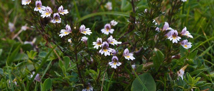 Szemvidítófű (Euphrasia officinalis) - Természet Patikája Egyesület