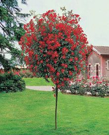 Red Knockout Rose Tree