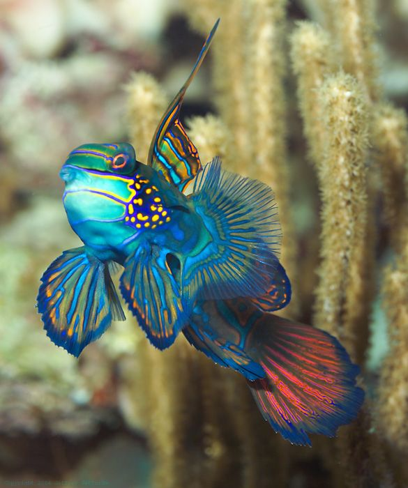 In an uncommon moment away from the bottom, this two-inch (5 cm) mandarinfish presents an exaggerated facade with its colorful array of glorious, ornate fins. Research has shown a posture similar to this in examples of male-to-male aggression and courtship displays.