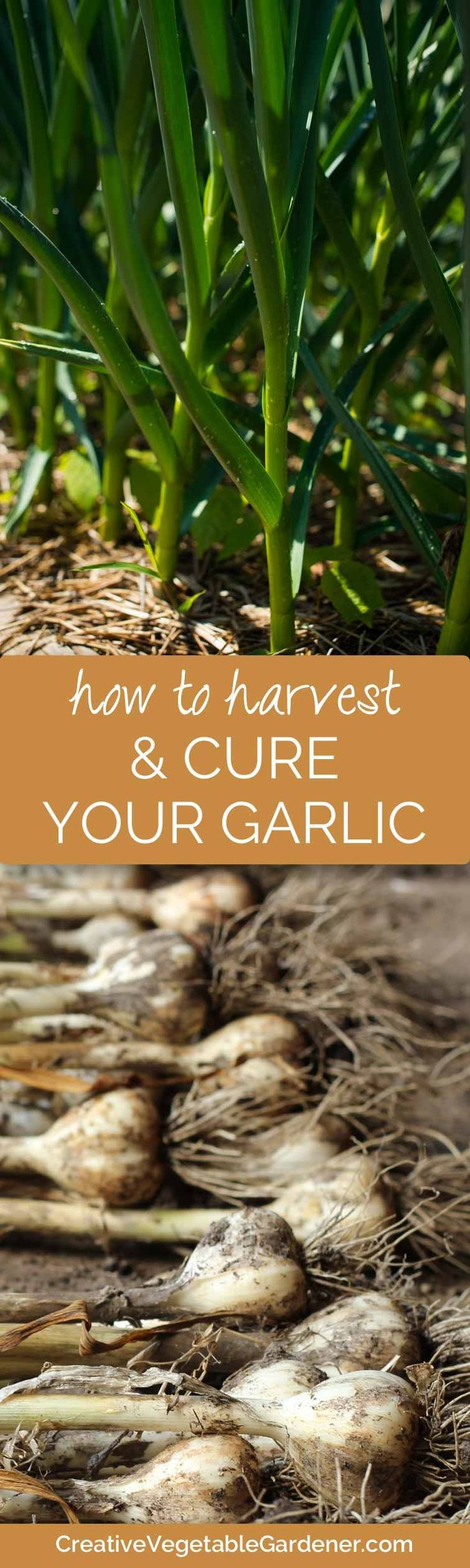 The right time to harvest your garlic & how to cure it to make sure it lasts all winter.