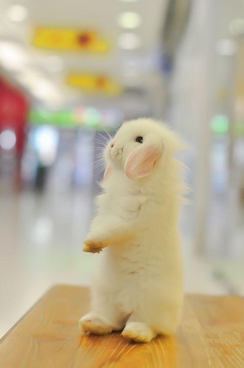 A fluffy bunnykins