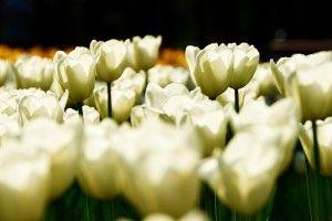 White Tulips Field HD Wallpaper